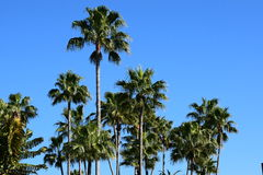 Palm trees. In the clear blue sky Royalty Free Stock Photography
