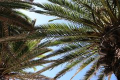 Palm trees with clear sky on the beach with fine sand in the summer. Palm trees leaves with clear sky on the beach with fine sand in the summer stock images