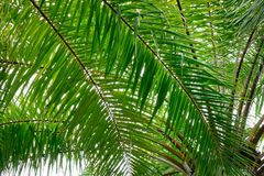 Palm trees, closed up. Palm trees at garden, closed up Royalty Free Stock Photography