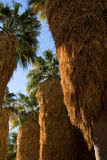 Palm trees closeup Royalty Free Stock Photography
