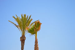 Palm Trees And A Cloudless Blue sky Stock Photography