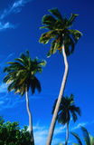 Palm trees and cloudless sky on a trip to the tropics Royalty Free Stock Photo