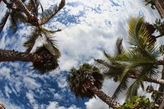 Palm-trees on the cloudy-blue sky Stock Photography
