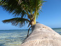 Palm trees with coconut. Vacation in the Caribbean under the palm trees with coconut royalty free stock photos