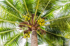 Palm trees with coconut on the beach. Royalty Free Stock Image