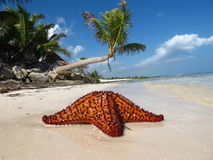 Palm trees with coconut and starfish. Vacation in the Caribbean under the palm trees with coconuts and starfish stock images