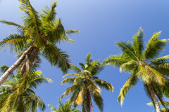 Palm trees with coconut under blue sky background Stock Image