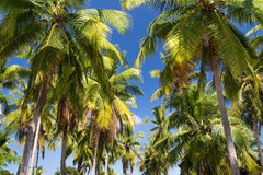 Palm trees with coconut under blue sky background Stock Photography