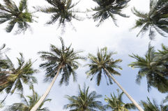 Palm trees with coconut under blue sky Stock Photography