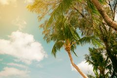 Palm trees coconut wood terrace beach sea sky in the summer. Of the holiday vintage toned Stock Image