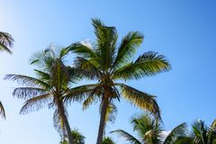 Palm trees with coconuts on a blue sky background. Roatan, Honduras. Palm trees with coconuts on a blue sky background. Roatan, Honduras Royalty Free Stock Photography
