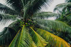 Palm trees with coconuts Sri Lanka Royalty Free Stock Images