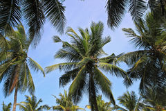Palm trees in Colombo, Sri Lanka, view from bottom Stock Photography