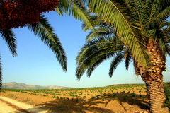 Palm trees and countryside Royalty Free Stock Photos