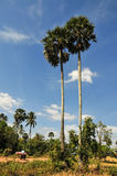 Palm trees at countryside in Kampot, Cambodia Royalty Free Stock Photo