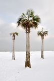 Palm Trees Covered With Snow Stock Photos
