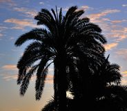 Palm trees at dawn, phoenix canariensis Stock Photography