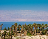Palm Trees at the Dead Sea Royalty Free Stock Photo