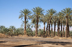 Palm trees at dead sea Stock Images