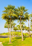 Palm trees decorate in garden Royalty Free Stock Images