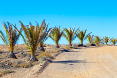 Palm trees in the desert Royalty Free Stock Image