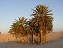 Palm trees in desert Royalty Free Stock Image