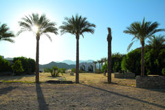Palm trees in desert in egypt Royalty Free Stock Photography