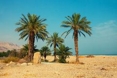 Palm trees in desert Stock Photos