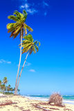 Palm trees in Dominican Republic Royalty Free Stock Photo