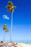 Palm trees in Dominican Republic Royalty Free Stock Images