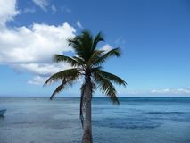 Palm trees in the Dominican Republic. Lonley Palm trees beach in a nature reserve called saona in the Dominican Republic Stock Photography