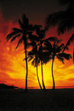 Palm Trees Drenched in a Red and Orange Sunset Royalty Free Stock Photos