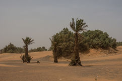 Palm trees and dune in Merzouga village near sahara Erg Chebbi Royalty Free Stock Image