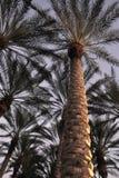 Palm Trees at dusk Stock Image