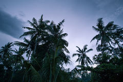 Palm trees in the early morning on sky background. Palm tree tropical forest in the early morning sky before sunrise, Bali, Indonesia Royalty Free Stock Photo