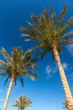 Palm trees in Egypt Stock Photos