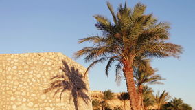 Palm trees in Egypt against blue sky. Beautiful furry palm trees in the Egyptian desert in the background of an old building stock video footage