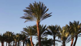 Palm trees in Egypt against blue sky stock video footage