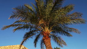 Palm trees in Egypt against blue sky stock video