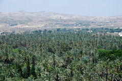 Palm trees in Elche Stock Image