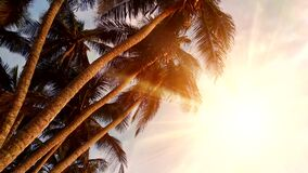 Palm trees in the evening sunset