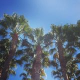 Palm trees. Famous palm trees lining Palm Drive, Stanford University Royalty Free Stock Image