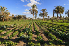 Palm trees in the farm. Palm trees have been planted inside a field with beautiful blue sky Royalty Free Stock Image