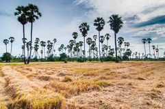 Palm trees at field rice after harvest Royalty Free Stock Photography
