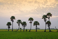 Palm trees on the field at sunrise Royalty Free Stock Images