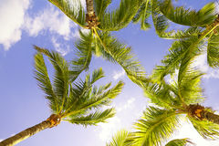 Palm trees in Florida. Palm trees from below, Florida Royalty Free Stock Image
