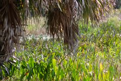 Palm trees in a Florida swamp. Brown leaf of Palm tree in Florida swamp stock photography