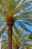 Palm trees flourish under tropical sun. Royalty Free Stock Photography