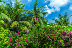 Palm trees and flowering bougainvillea, Maldives Royalty Free Stock Photo
