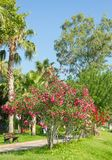 Palm trees and flowers Oleander in Kemer stock images